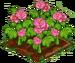 Begonia 100