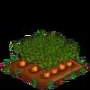 Carrots-bloom