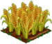 Amber Grain 100