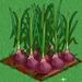 Onion extra100