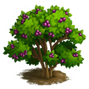 Beautyberry Tree