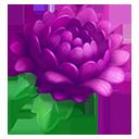 Purple Garden Mums