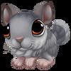 Baby Grey Common Chinchilla