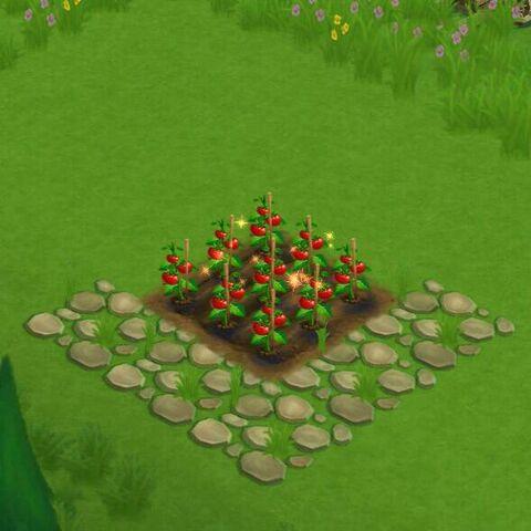 File:TomatoField.jpg