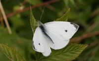Small White pieris rapae male