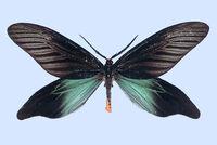 Hflabellicornis