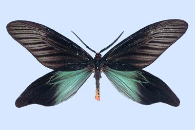 File:Hflabellicornis.jpg