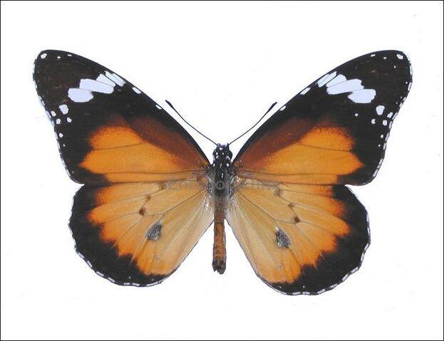 File:Danaus chrysippus petilia 1.jpg
