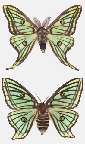 File:Scheer-Actias-isabellae-pair.jpg