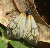 Agalope-hyalina-nainital petersmetacek