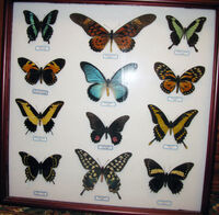 Papilio collection