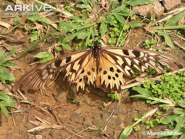 File:African-giant-swallowtail-after-attack-by-predator-Korup-National-Park.jpg