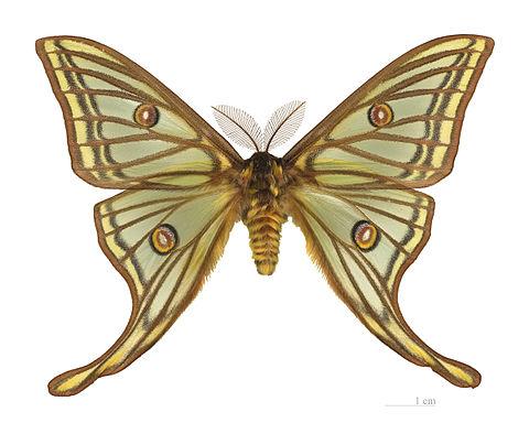 File:480px-Graellsia isabellae MHNT male dos .jpg