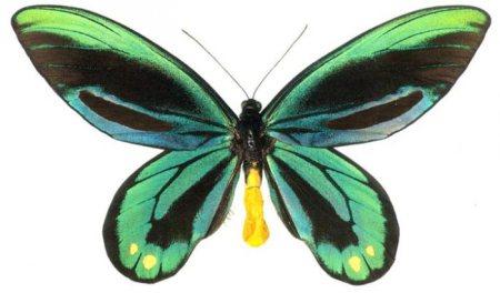 File:1320747211 ornithoptera alexandrae 1.jpg