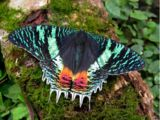 Uraniidae