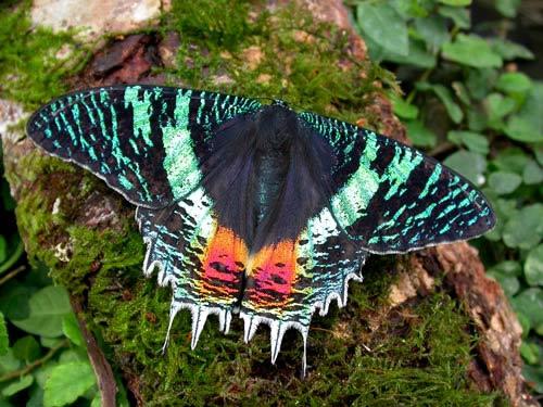 File:Uraniidae sunset moth chrysiridia croesus.jpg