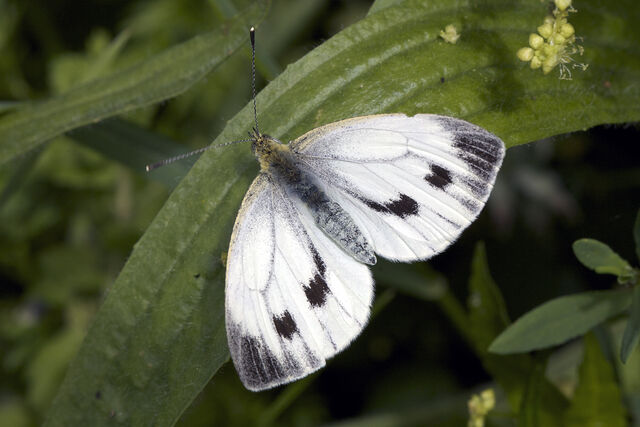File:Large-white-butterfly-Pieris-brassicae-female-Guernsey-100711-©RLLord-1101-SGB-em.jpg