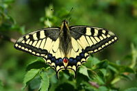Papilio Machaon JPG1a-1-