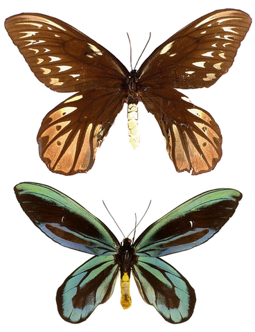 File:460px-Ornithoptera alexandrae.png