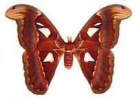 Atlas moth female