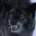 Nachtwolf