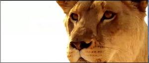 Lioness 2(Prey 2007)