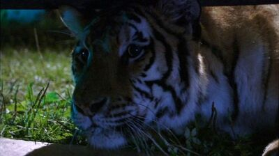 Bengal tiger(Maneater 2007)