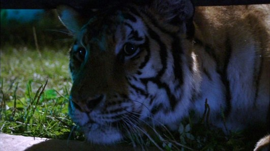 File:Bengal tiger(Maneater 2007).jpg