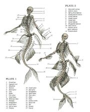 Mermaid anatomy