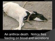 Anthrax-023