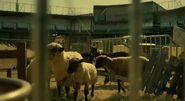 Sheepstadium