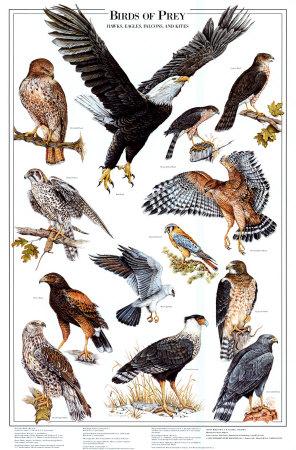 Birds of prey