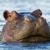 Anonymous Hippopotamus