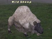 Wild-Sheep