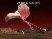 Coastal Colibri