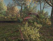 Greater Colibri