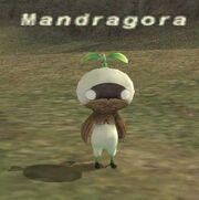 Mandragora1
