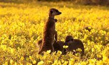 Flower on A Meerkat's Tale