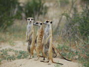 Duplaix-nicole-three-meerkats