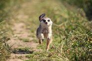 14538420-meerkats-jump-in-grass