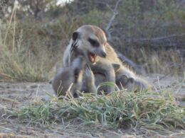 Meerkats fighting