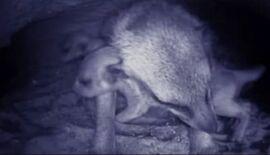 Meerkat Manor - Meerkat with pups in burrow
