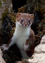 Weasel4
