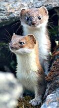 Two Weasels