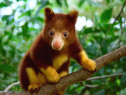 Tree-kangaroo-01-thumb