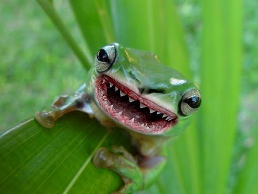 the amazon amorangan frog fictspedia wiki fandom powered by wikia