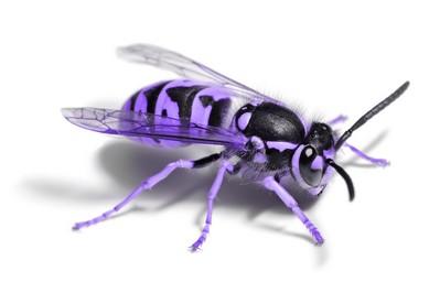 File:Purplewasp2.jpg
