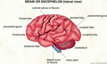 Brain sulci1354591159841