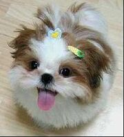 1299208027 172315135 1-Pictures-of--looking-for-SHIH-TZU-PRINCESS-TYPE-PUPPIES