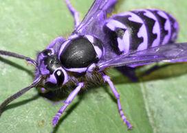 Purplewasp